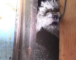 Rescuers Struggle To Save Poodle Who Had Been Hiding Under Home For 5 Months