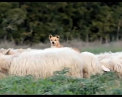 "Doggo Is Supposed To Be Guarding Sheep. His ""Work Ethic"" Has Internet In Stitches"