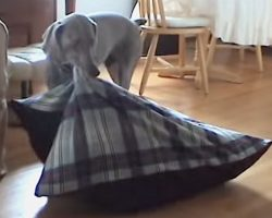 Clever Dog Carries Bed to Fireplace To Take A Nice Cozy Nap