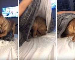 [Video] Sweet Shar-Pei Politely Asks to be Tucked into Bed Each Night