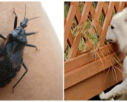 Tiny Bug Is Killing Hundreds Of Dogs. Know What To Look For And What To Do If They Get Bit!