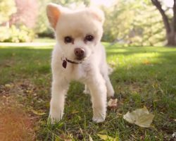 Tiny Dog Who Walks Crooked After Beating Inspires Hope In Rescuers