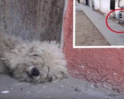 A Little Bit Of Love Transforms Poodle Who Was Living On The Streets