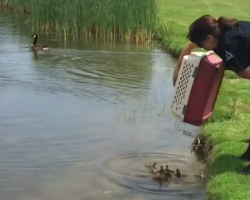 Cop Dumps 10 Orphaned Ducklings Into A Pond, And They Immediately Get A New Mom