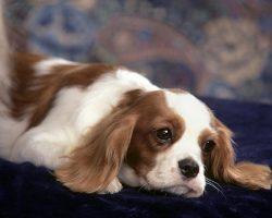 10 Best Cavalier King Charles Spaniel Dog Names