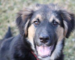 16 Unreal German Shepherd Cross Breeds You Have To See To Believe