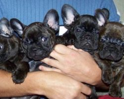 14 Signs You Are A Crazy French Bulldog Person