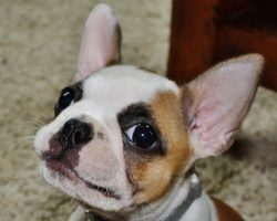 10 Unreal French Bulldog Cross Breeds You Have To See To Believe