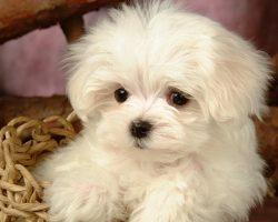 121 Most Popular Maltese Dog Names