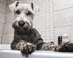 20 Things All Schnauzer Owners Must Never Forget