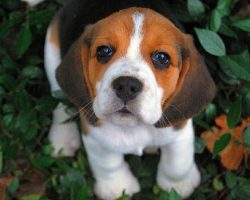 These 10 Beagles Will Make You A Better Person