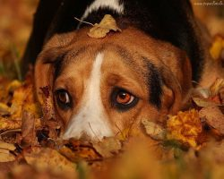 10 Reasons Why Beagles Are The Best Dogs Ever
