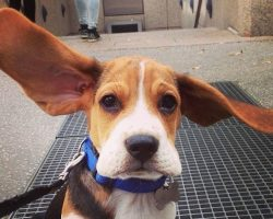 14 Signs You Are A Crazy Beagle Person