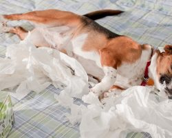 18 Reasons Beagles Are The Worst Dogs To Live With