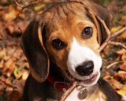 65 Most Popular Beagle Dog Names