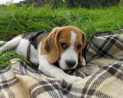 14 Things That Make Beagles Happy