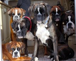 10 Boxer Dogs Know How to Solve Your Daily Life Problems