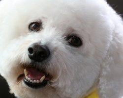 49 Most Popular Bichon Frise Dog Names