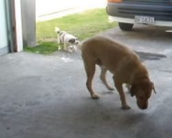 Tiny Doggy Friend Tries to Take Golden Lab on a Walk