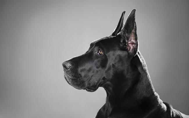 69 Most Popular Great Dane Dog Names