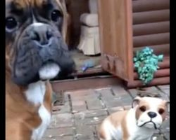 Boxer desperately attempts to befriend ceramic dog