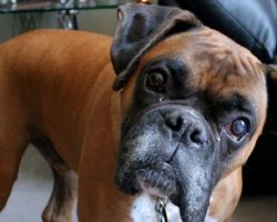 14 Boxer Dogs Totally Defying The Laws Of Physics