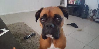 Boxer dog drops subtle hints