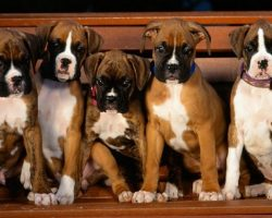 12 Reasons Why Boxer Dogs Are The Only Friends You'll Ever Need
