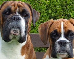 12 Boxer Dog Property Laws