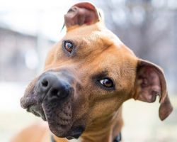 12 Unreal Boxer Cross Breeds You Have To See To Believe