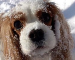 16 Things All Cavalier King Charles Spaniel Owners Must Never Forget