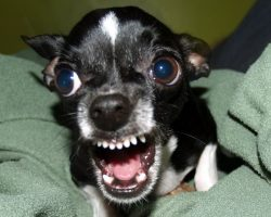 10 Reasons Why Chihuahuas Are The Most Dangerous Pets. The Last One Is Horrible.