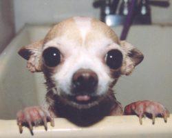 14 Things That Make Chihuahuas Happy