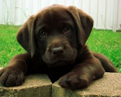 25 Reasons Labradors Are Actually The Worst Dogs To Live With