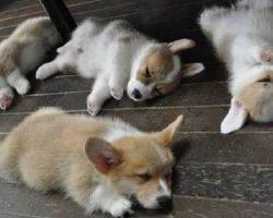 16 Hilarious Photos That Prove Corgis Can Sleep Absolutely Anywhere
