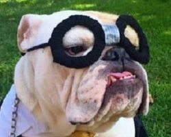 10 Costumes That Prove English Bulldogs Always Win At Halloween