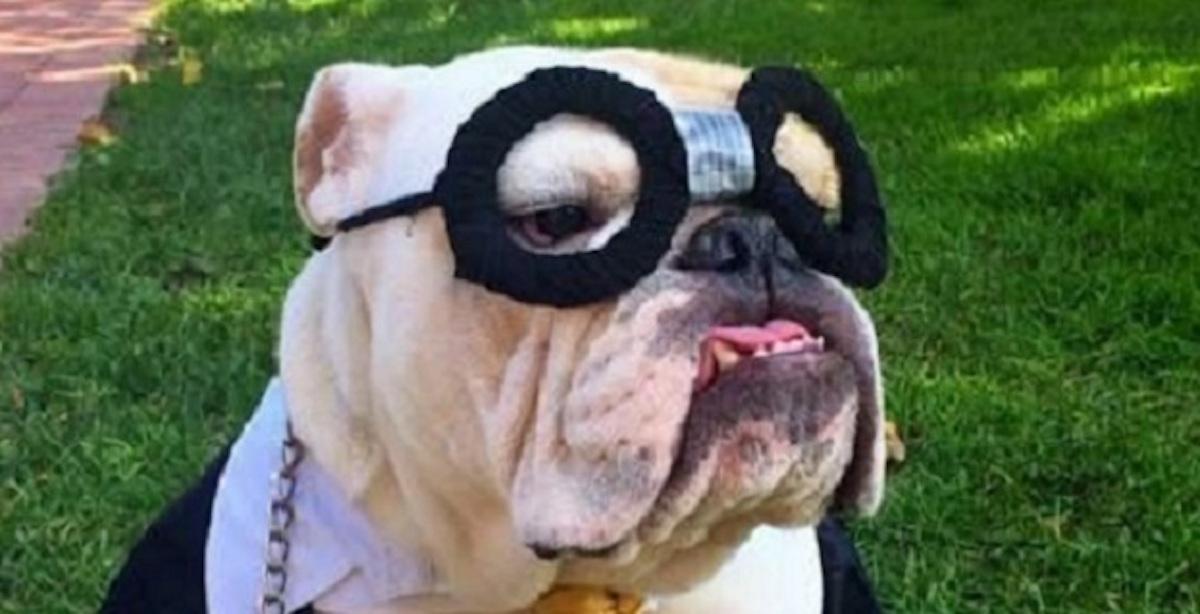 Halloween Costumes For English Bulldogs 2020 10 Costumes That Prove English Bulldogs Always Win At Halloween