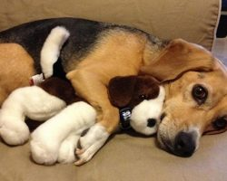18 Things All Beagle Owners Must Never Forget