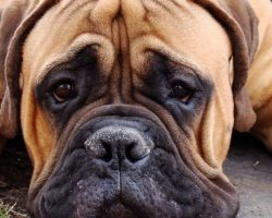 15 Reasons Mastiffs Are Not The Friendly Dogs Everyone Says They Are