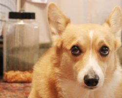15 Reasons Why Corgis Are Actually The Least Favorite Dogs In The World