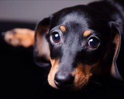 20 Reasons Dachshunds Are The Worst Dogs To Live With