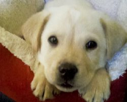 10 Things Only Labrador Owners Know