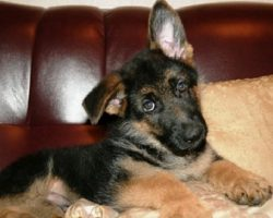 12 Realities That New German Shepherd Owners Must Accept