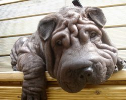 17 Things All Shar Pei Owners Must Never Forget
