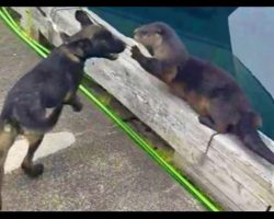 Dog Befriends Otter In A Super Cute Playdate For The Ages