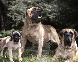 12 Reasons Why You Should Never Own Mastiffs