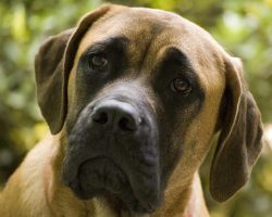 20 Reasons Mastiffs Are Actually The Worst Dogs To Live With