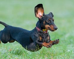 12 Dachshunds Totally Defying The Laws Of Physics