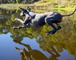 10 Great Danes Totally Defying The Laws Of Physics