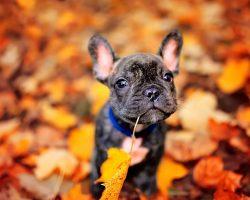 89 Most Popular French Bulldog Dog Names